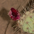 prickly-pear-fruit-bird-excavated-very-red-2012-10-19-IMG 6753