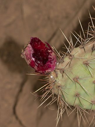 prickly-pear-fruit-bird-excavated-very-red-2012-10-19-IMG 6753 1