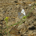 white-butterfly-on-crucifer-weed-santa-monica-mts-2008-09-18-IMG 1360