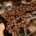 Asian-ladybugs-swarming-at-Split-Rock-Mishe-Mokwa-2013-01-20-IMG 7219