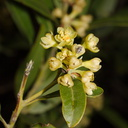 Umbellularia-californica-California-bay-laurel-flowering-Sandstone-Peak-trail-Santa-Monica-Mts-2015-02-16-IMG 0386