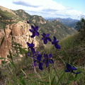 delphiniums-blue-Sandstone-Peak-2012-01-MRiley2