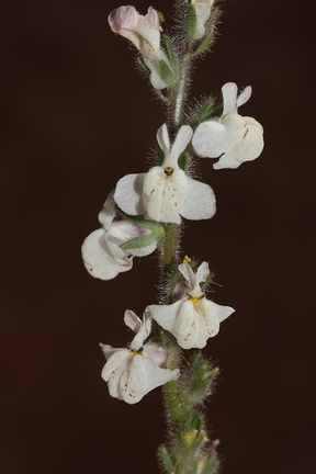 Antirrhinum-coulterianum-Coulters-snapdragon-Sage-Ranch-2016-06-10-IMG 3170