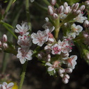Eriogonum-sp-buckwheat-Wildwood-2012-06-09-IMG 2049