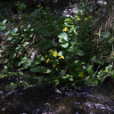 Mimulus-guttatus-seep-monkeyflower-Wildwood-2012-06-09-IMG 2041