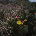 Opuntia-littoralis-prickly-pear-Wildwood-2012-06-09-IMG 2013