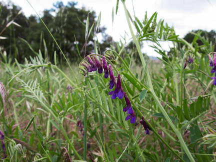 Vicia-sp-vetch-deep-purple-Sage-Ranch-Santa-Susana-2011-04-08-IMG 7554