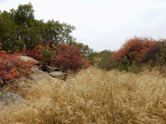 habitat-fall-colors-due-to-drought-Sage-Ranch-2015-05-26-IMG 5066