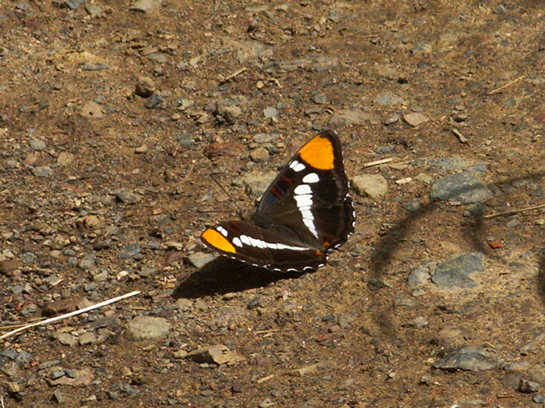 California-sister-butterfly-Adelphia-sp-Satwiwa-Creek-2011-05-18-IMG_8005.jpg