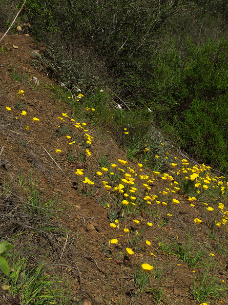 Eschscholzia-caespitosa-tufted-poppy-Satwiwa-waterfall-trail-Santa-Monica-Mts-2011-02-08-IMG 7025