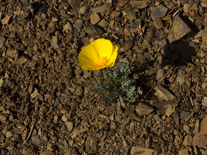 Eschscholzia-caespitosa-tufted-poppy-Satwiwa-waterfall-trail-Santa-Monica-Mts-2011-02-08-IMG 7027