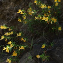 Mimulus-aurantiacus-sticky-monkeyflower-Satwiwa-Creek-2011-05-18-IMG 7952