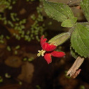 Mimulus-cardinalis-in-pools-Waterfall-Trail-Satwiwa-2012-10-13-IMG 6723