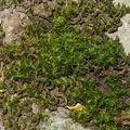 Orthotrichum-sp-bolanderi-moss-on-rocks-in-stream-Waterfall-Trail-Satwiwa-2013-04-20-IMG 0568