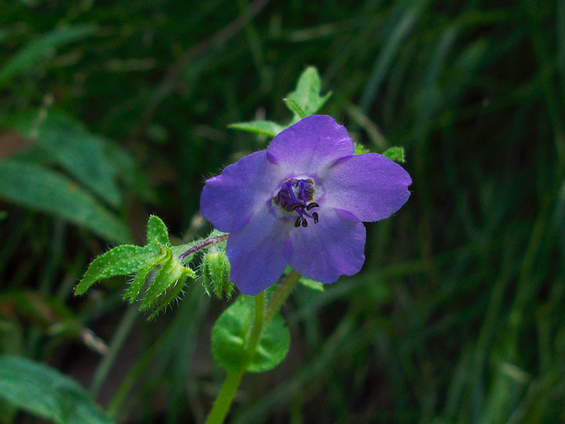 Pholistoma-auritum-blue-fiestaflower-Satwiwa-waterfall-trail-2011-04-12-IMG_7626.jpg