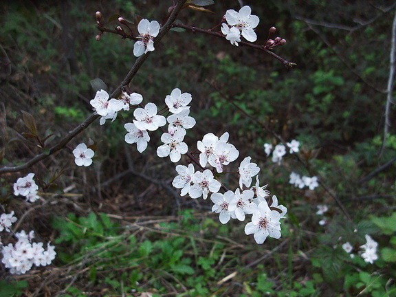 Prunus-tomentosa-Nanking-cherry-Satwiwa-waterfall-trail-2012-03-04-Satwiwa-upper-trail-2012-03-04-IMG 0777
