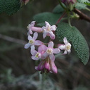 Ribes-cereum-wax-currant-Satwiwa-trail-Santa-Monica-Mts-2010-12-23-IMG 6812