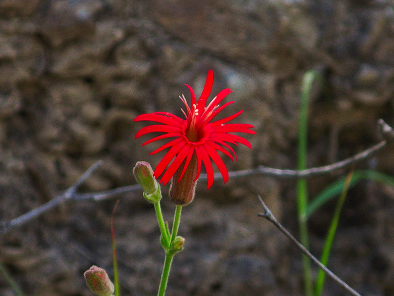 Silene-laciniata-Indian-pink-Satwiwa-Creek-2011-05-18-IMG_7953.jpg