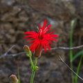Silene-laciniata-Indian-pink-Satwiwa-Creek-2011-05-18-IMG 7953