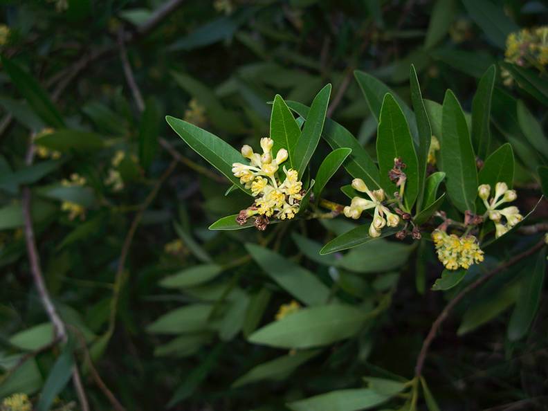 Umbellularia-californica-bay-laurel-Satwiwa-waterfall-trail-Santa-Monica-Mts-2011-02-08-IMG 7033