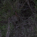 baby-rabbit-Satwiwa-trail-Santa-Monica-Mts-2010-12-23-IMG 6821