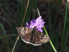 butterfly-Erynnis-tristis-Mournful-duskywing-on-blue-dicks-Satwiwa-upper-trail-2012-03-04-IMG 0783