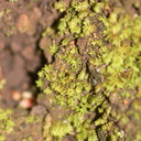 liverwort-Satwiwa-Creek-2011-05-18-IMG 2144