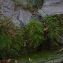 maidenhair-fern-at-pools-Satwiwa-Waterfall-Trail-2014-11-29-IMG 4255.