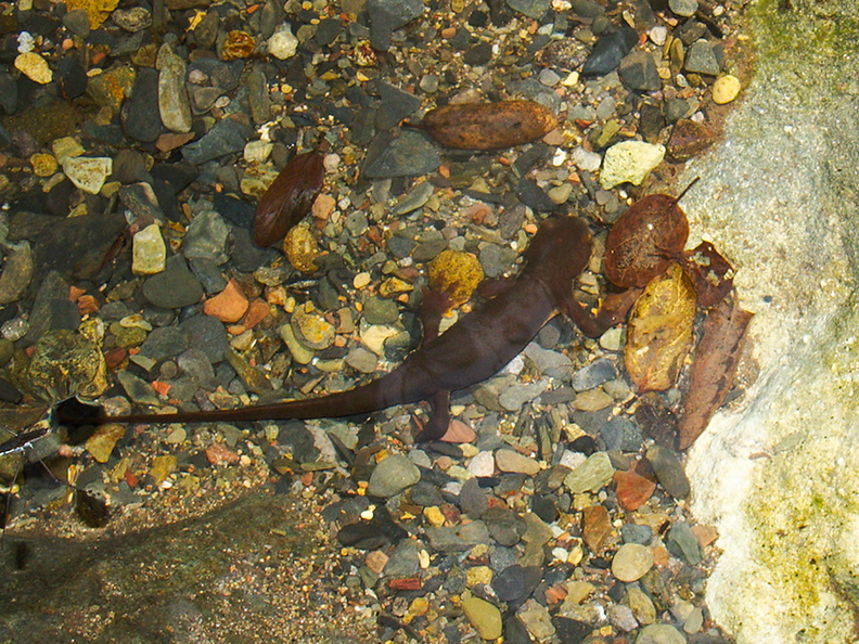 salamander-Ambyostoma-sp-in-stream-Satwiwa-Creek-2011-05-18-IMG_7984.jpg