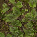 thallose-liverwort-Satwiwa-Waterfall-Trail-2011-12-26-IMG 3737