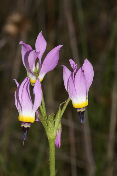Dodecatheon-clevelandii-Padres-shooting-star-Sycamore-Canyon-Overlook-meadow-2012-01-16-IMG_3872.jpg