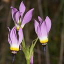 Dodecatheon-clevelandii-Padres-shooting-star-Sycamore-Canyon-Overlook-meadow-2012-01-16-IMG 3872
