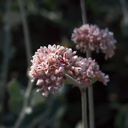 Eriogonum-cinereum-ashy-leaved-buckwheat-Serrano-Canyon-2011-10-29-IMG 9980