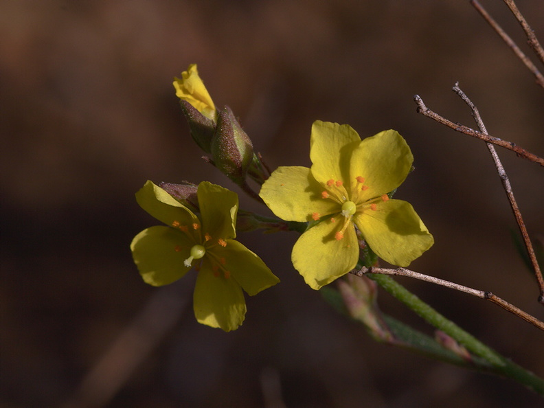 Helianthemum-scoparium-rock-rose-Sycamore-Canyon-Overlook-trail-2012-01-16-IMG_3879.jpg