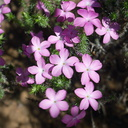 Leptodactylon-californicum-prickly-phlox-Serrano-Canyon-2011-01-25-IMG 1675