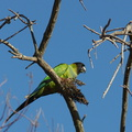 Nanday-conure-Nandayus-nendai-eating-Malosma-laurina-fruits-Serrano-Canyon-2012-01-16-IMG 3905