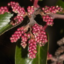Rhus-ovata-sugar-bush-Serrano-Canyon-2013-02-10-IMG 7352