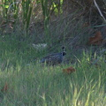 quail-Callipepla-californica-Sycamore-Canyon-road-2012-01-16-IMG 3887