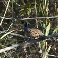 quail-Callipepla-californica-Sycamore-Canyon-road-2012-01-16-IMG 3892
