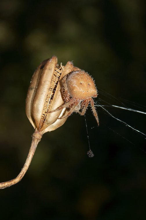 spider-ochre-large-bodied-orb-weaver-Serrano-Canyon-2011-10-29-IMG 3432