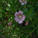 Malva-neglecta-mallow-Solstice-Canyon-2011-05-11-IMG 7786