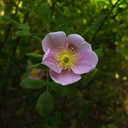 Rosa-californica-Solstice-Canyon-2011-05-11-IMG 7849
