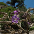 blue-flowered-tree-at-mansion-ruins-Boraginaceae-like-Cordia-Solstice-Canyon-2011-05-11-IMG_7792.jpg