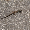 lizard-indet-Podarcis-sp-Solstice-Canyon-2011-05-11-IMG 7787