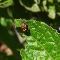 orange-black-larval-insect-Solstice-Canyon-2011-05-11-IMG 7847