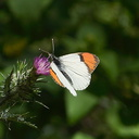 orange-tip-butterfly-Anthocharis-sara-sara-Solstice-Canyon-2011-05-11-IMG 7790