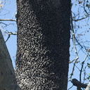 sapsucker-damaged-bark-Solstice-Canyon-2011-05-11-IMG 2090