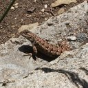 western-fence-lizard-Sceloporus-occidentalis-Solstice-Canyon-2011-05-11-IMG 7829