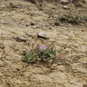 2013-05-09-Erodium-cicutarium-storksbill-blooming-Day5-after-Springs-Fire-Chumash-IMG 0758
