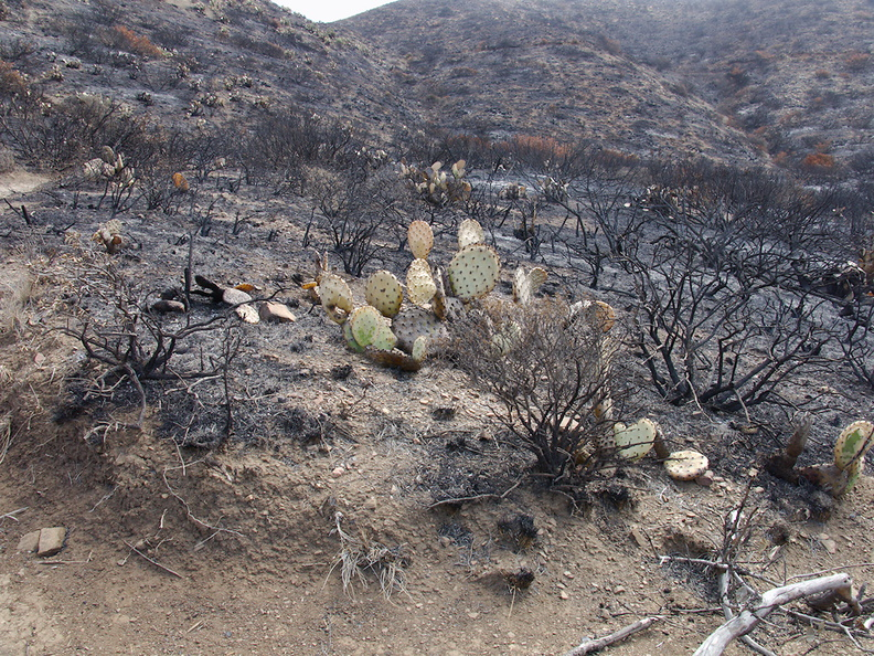 2013-05-09-Opuntia-prickly-pear-still-green-Springs-Fire-Chumash-IMG 0740
